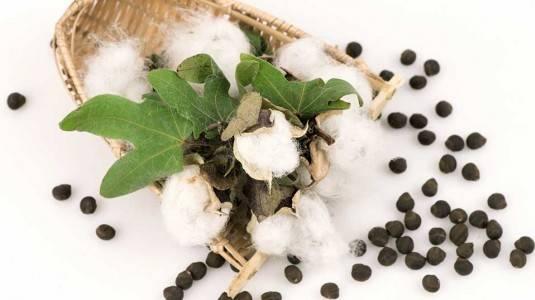 Cottonseed Oil, Apa Manfaatnya?