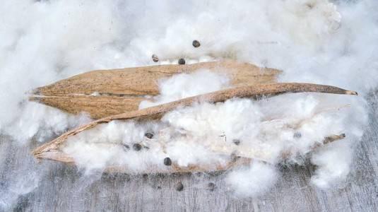 Cottonseed Oil: Skincare yang Kaya Khasiat