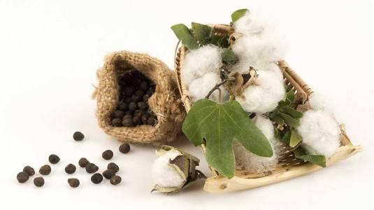 Khasiat Cottonseed Oil Sebagai Bahan Dasar Produk Naif