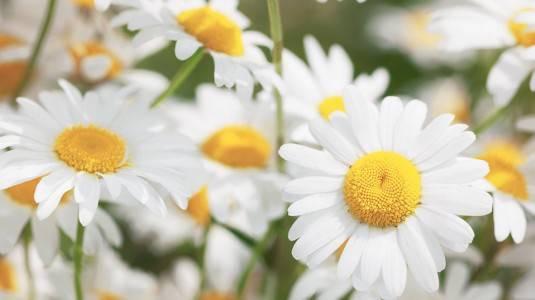 Kandungan Bunga Chamomile bisa Mengatasi Eksim?